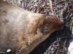 Photos d'Australie: Otarie à fourrure
