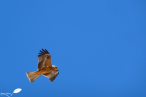 Photos d'Australie: Rapace en vol
