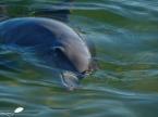 Photos d'Australie: Dauphin de Monkey mia (shark bay)