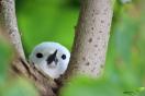 Gygis blanc qui couve