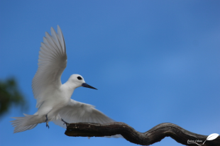 Atterrissage d'un Gygis blanc