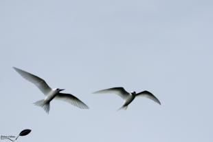 Couple de Gygis blanc qui volent