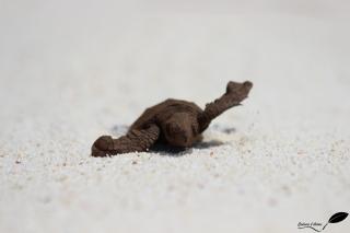 Bébé tortue imbriquée
