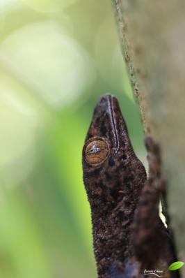 Gecko bronze