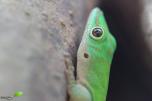 Gecko vert des Seychelles