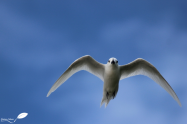 Gygis blanc en vol