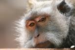 Macaque crabier (ubud)