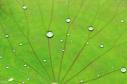 perle d'eau sur néuphar