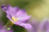 fleur de primevère
