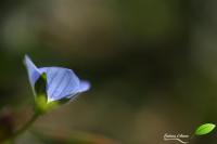 Petite fleur bleue