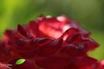 rosée matinale