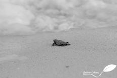Bébé tortue imbriquée s'en allant à l'eau après éclosion