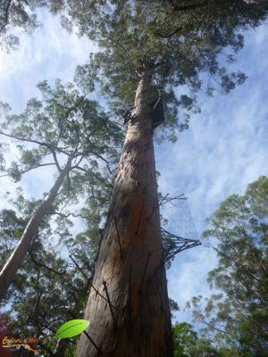 Eucalyptus géant