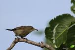 Fauvette des Seychelles - Seychelles warbler