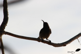 Souimanga des Seychelles – Seychelles sunbird