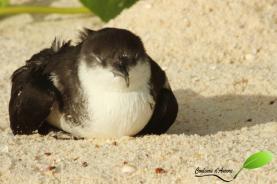 Puffin d'Audubon – Audubon's shearwater