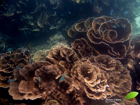 corail à coral bay