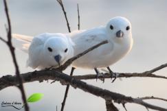 Couple de Gygis alba