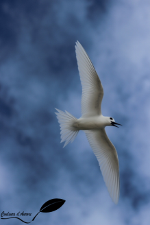 Gygis alba – white tern