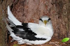 Paille-en-queue – Phaéton à bec jaune – Whitetailed tropicbird