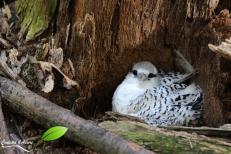 Poussin paille-en-queue dans son nid au sol