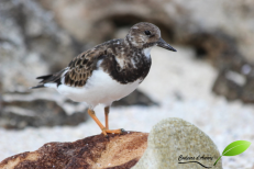 Tournepierre à collier – Ruddy turnstone