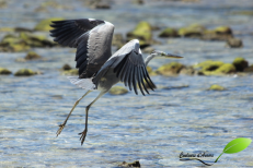 Héron cendré – Grey heron