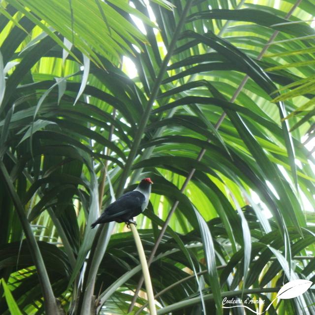 Pigeon bleu – Seychelles blue pigeon