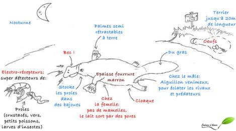 Dessin ornithorynque, sa biologie et écologie
