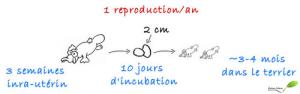 Chiffres sur la reproduction de l'ornithorynque