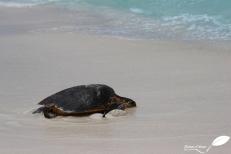 Tortue imbriquée – Hawksbill turtle