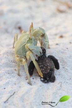 Un crabe a attrapé un bébé tortue