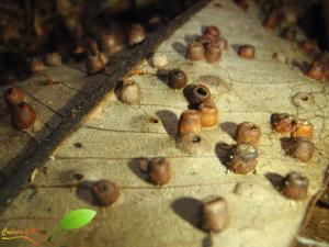 Galle sur une feuille d'arbre provoqué par un parasite
