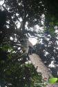 le manilkara (6)