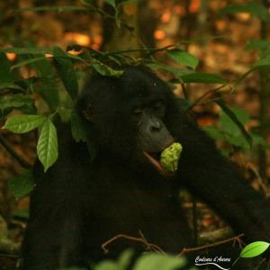 Un bonobo mange