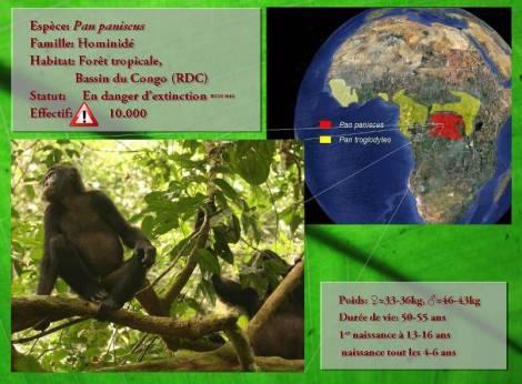 Présentation du Bonobo