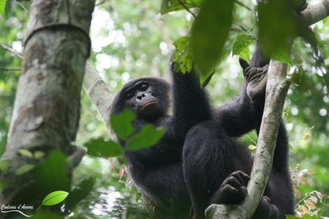 Un Bonobo
