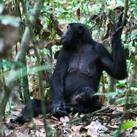 Une femelle Bonobo avec son bébé qui dort sur ses genoux