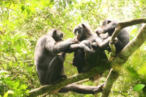 épouillage de 3 bonobos
