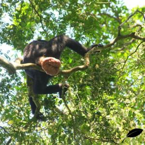 La vulve d'une femelle Bonobo