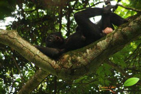 Une femelle bonobo poussant un cri