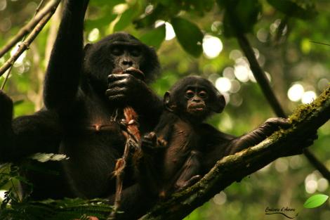 Une mère et sa fille Bonobo mangeant un singe