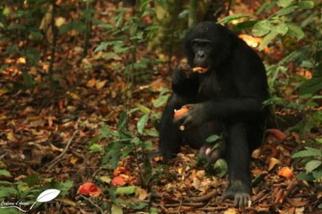 Un bonobo mange un fruit