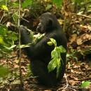 les bonobos utilisent certaines feuilles aux vertus pharmacologique contre leurs parasites intestinaux