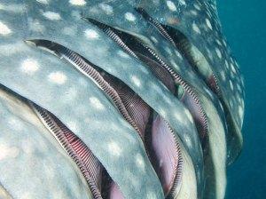 Branchies de requin baleine