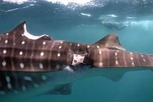 Un requin baleine s'est fait croquer un bout, mais a réussi à cicatriser - Photo de © Steven Gibson