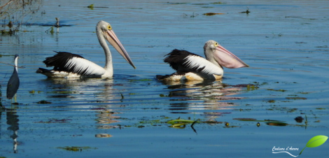 Pélicans à Parry lagoon