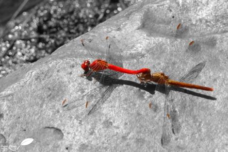 Les libellules sont partout