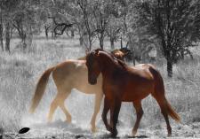 Des chevaux sauvages croisés sur le bord de route. Superbes!