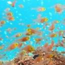 Larves de poissons